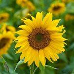 100pcs / mini sac de graines de tournesol hauteur série graines de tournesol de tournesol nain 40cm Graines de fleurs plantes pour le jardin à la maison de la marque SVI image 3 produit