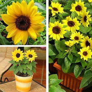 100pcs / mini sac de graines de tournesol hauteur série graines de tournesol de tournesol nain 40cm Graines de fleurs plantes pour le jardin à la maison de la marque SVI image 0 produit
