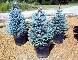 50pcs / sac rares épinette bleue Graines grimpantes à feuilles persistantes Sapin Bleu bonsaï Pin de Noël en pot pour décor de jardin de la marque SVI image 0 produit
