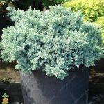 50pcs / sac rares épinette bleue Graines grimpantes à feuilles persistantes Sapin Bleu bonsaï Pin de Noël en pot pour décor de jardin de la marque SVI image 2 produit