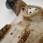 Mendler Crâne de décoration taureau 45cm HWC-T454, polyresin, sculpture, cornes longues, intérieur/plein air – nature de la marque Mendler image 4 produit