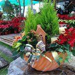 Pin Bonsaï semences, Bureau Bureau Arbre de Noël Décoration Colorado Sapin Cour Jardin Graines Picea Pots de fleurs 60 Pcs de la marque SVI image 2 produit